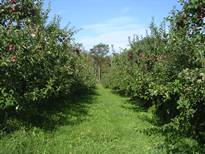 Apple Orchard in Maine